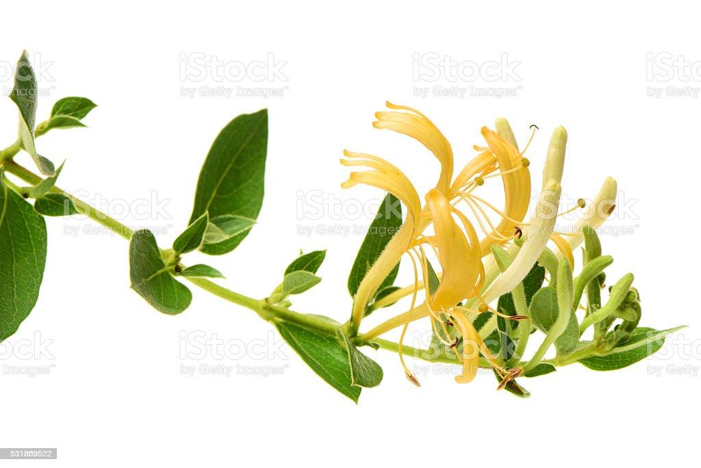 Flowering white-yellow Honeysuckle(Woodbine). stock photo