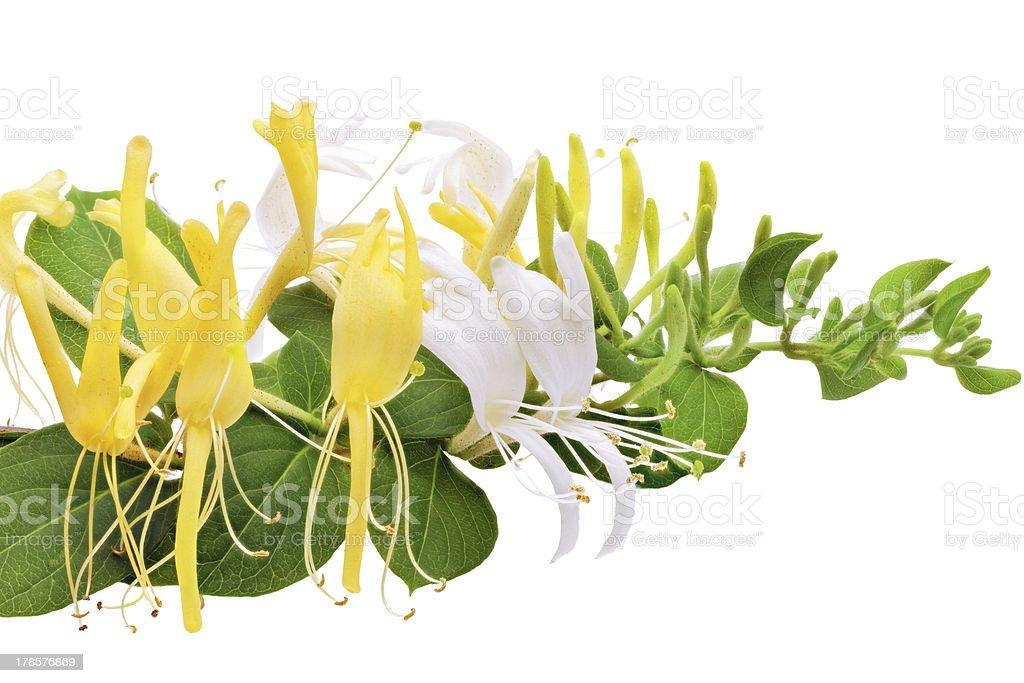 Flowering white-yellow Honeysuckle(Woodbine).Isolated stock photo