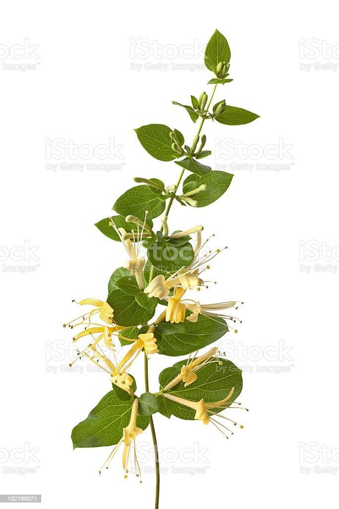 Flowering yellow Honeysuckle stock photo