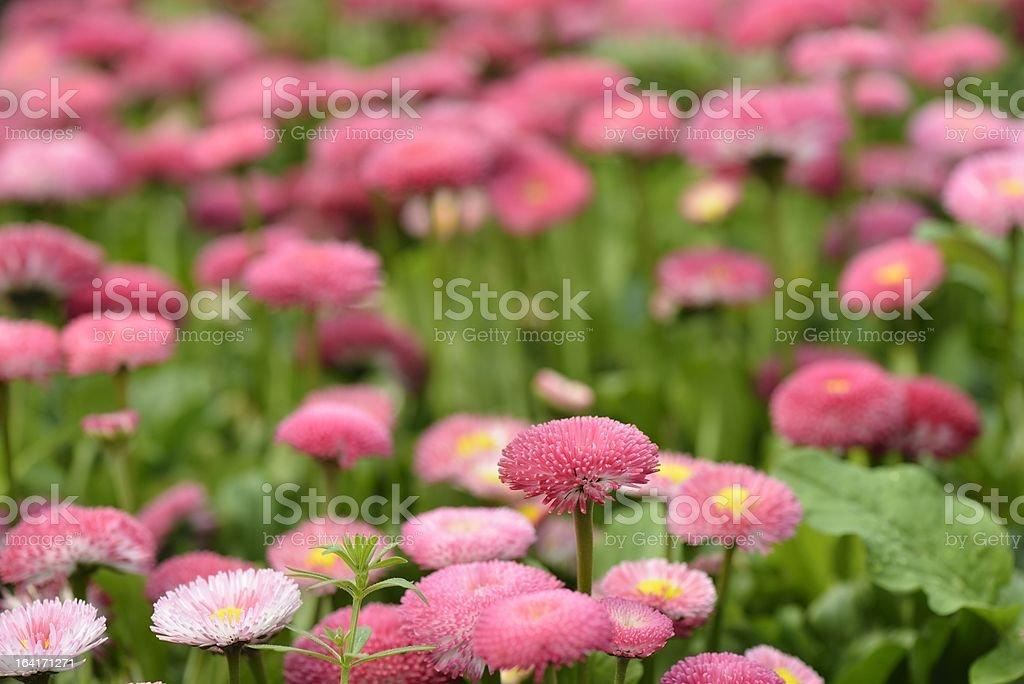 flower,marguerite,daisy royalty-free stock photo