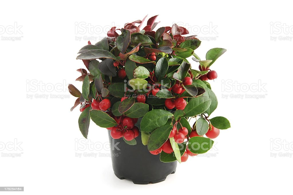 flowerpot of American wintergreen (Gaultheria procumbens) stock photo