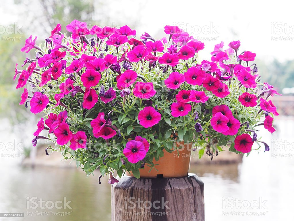 Flowerpot pink petunia flowers stock photo