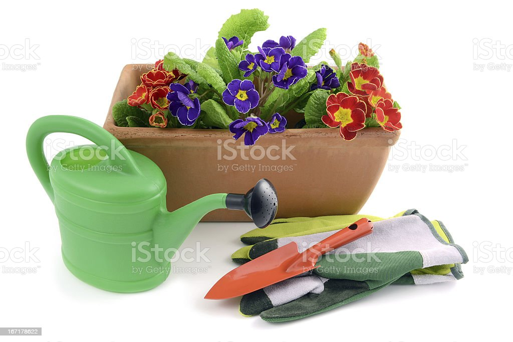 Flowerpot with primroses and gardening tools royalty-free stock photo