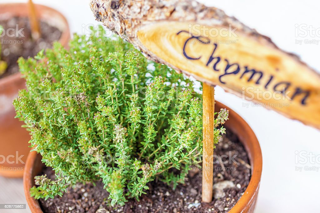 Flowerpot with thyme plant stock photo
