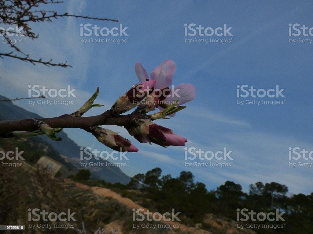 Flores de amêndoa foto royalty-free
