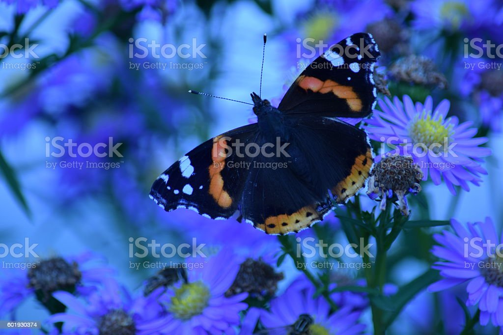 Flowers and a Red Admiral, vanessa atalanta stock photo
