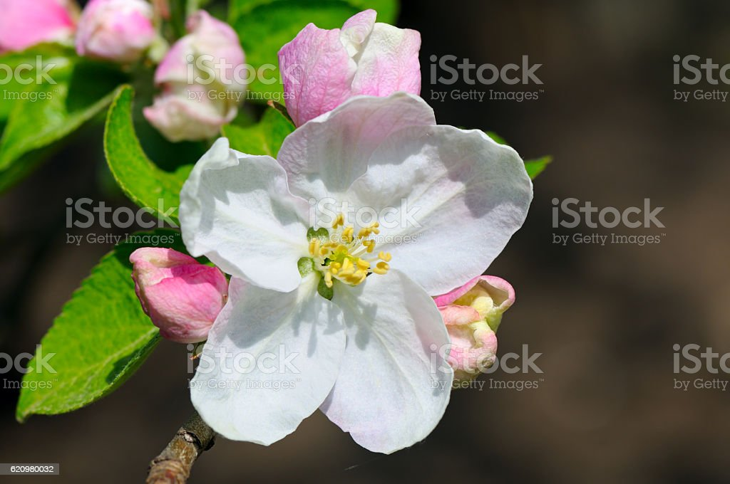 Flowers and buds of apple trees on a dark background. stock photo
