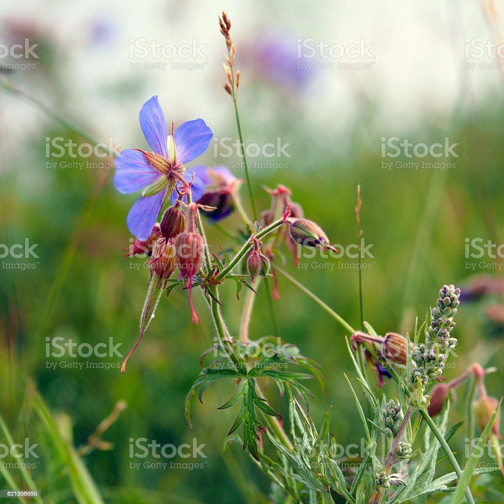 Flowers and buds of Geranium pratense stock photo