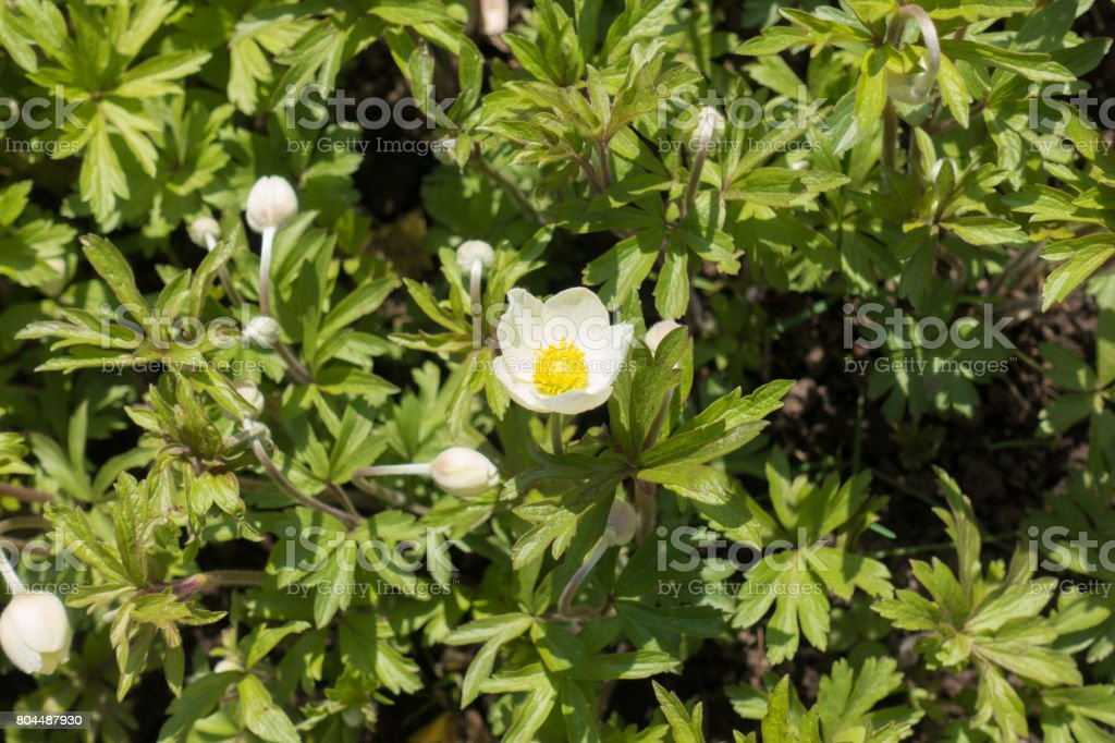 Flowers and buds of snowdrop anemone in spring stock photo