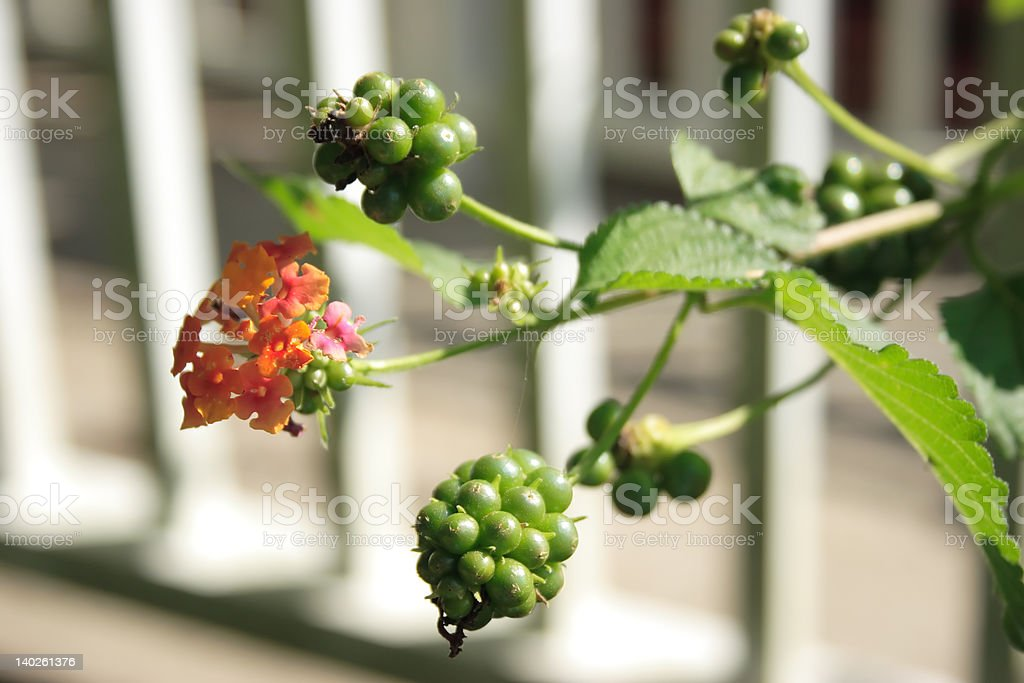 Flowers and green berries royalty-free stock photo