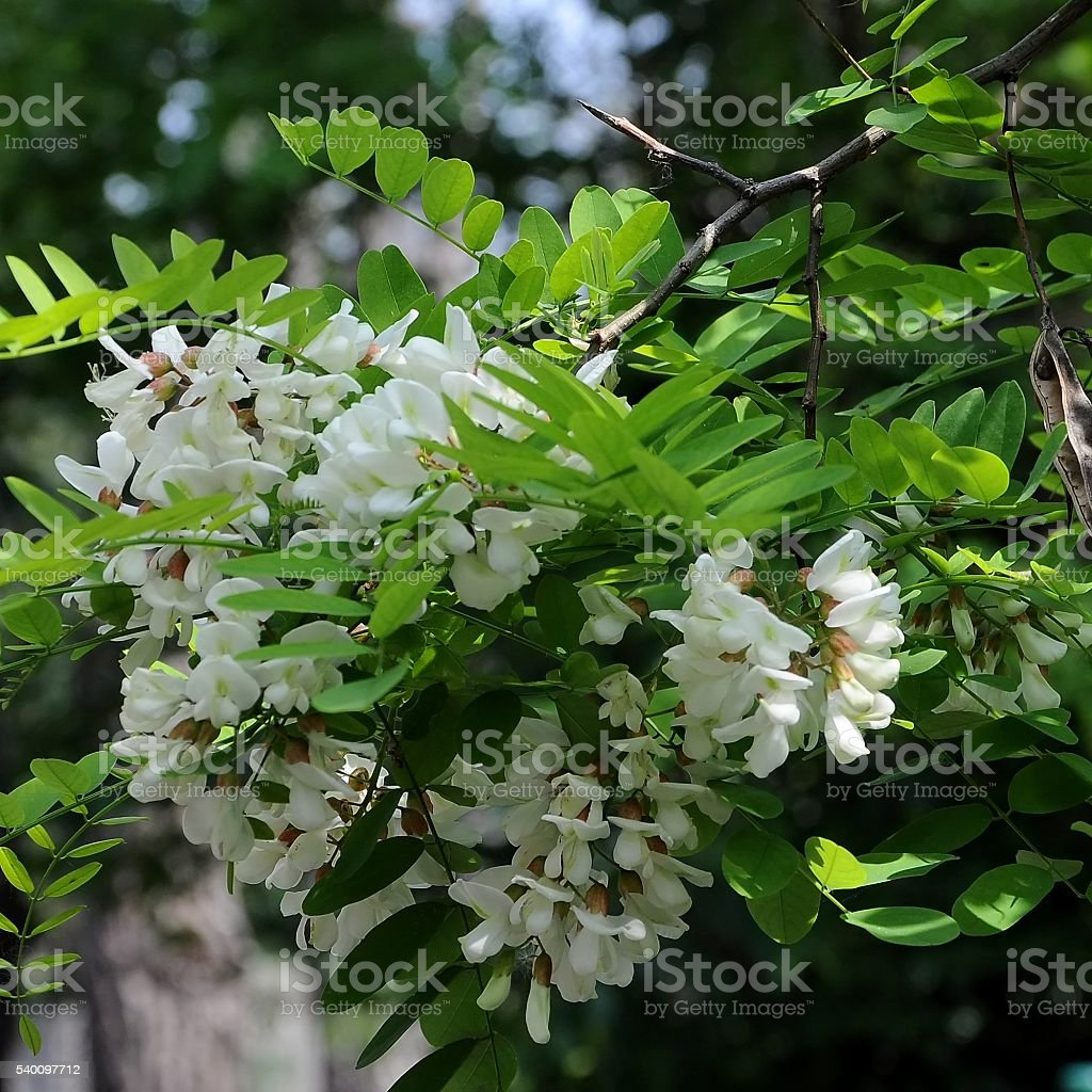Flowers and leaves of locust tree stock photo