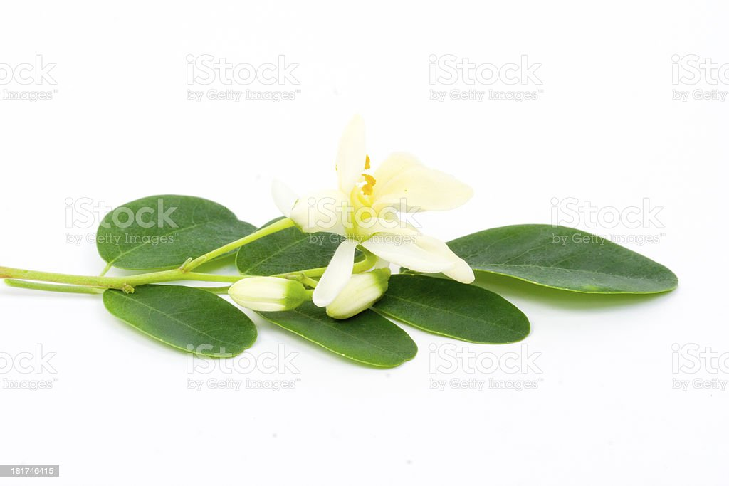 flowers and Leaves of Moringa on white stock photo