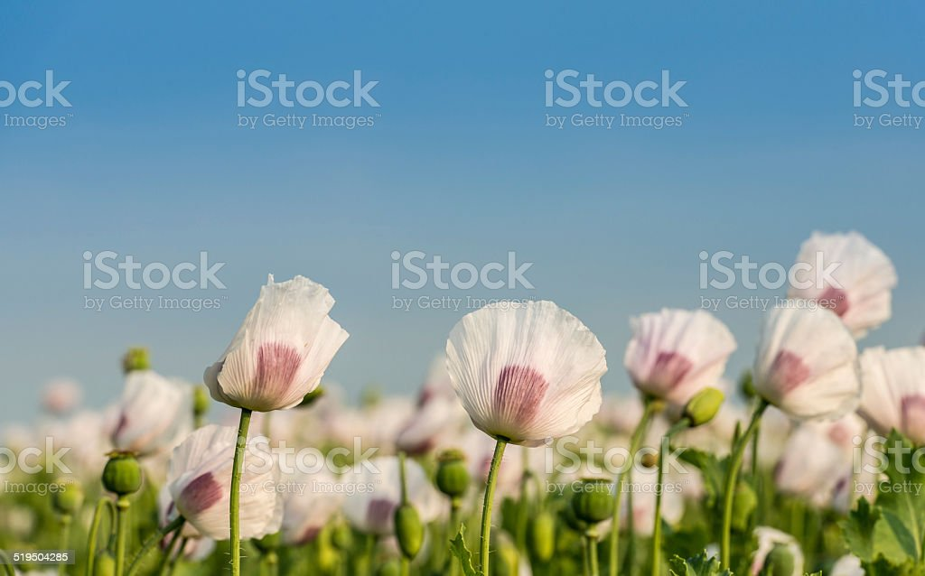 Flowers and seedheads of white and purple colored poppies stock photo