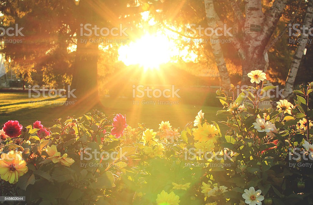 Flowers and sunset stock photo