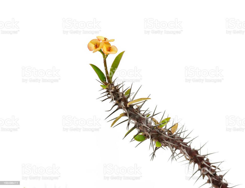 Kwiaty i Thorny Stem na białym zbiór zdjęć royalty-free