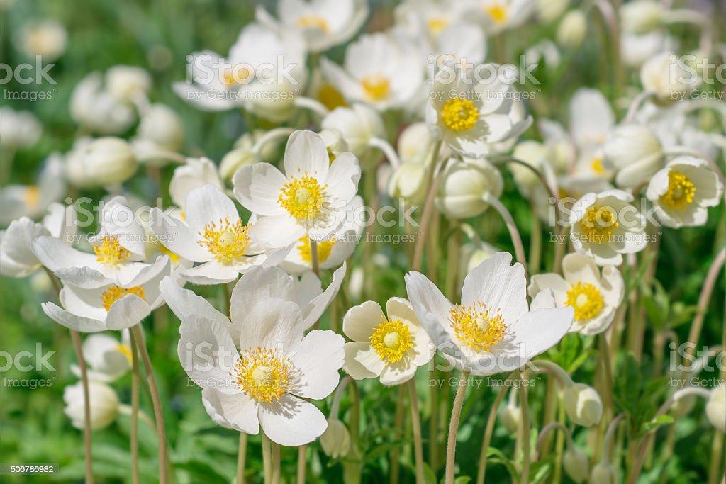 Flowers  anemones. stock photo