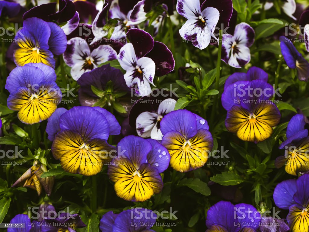 Flowers are viola in the garden. Summer background. Spring. Flowering spring flowers stock photo