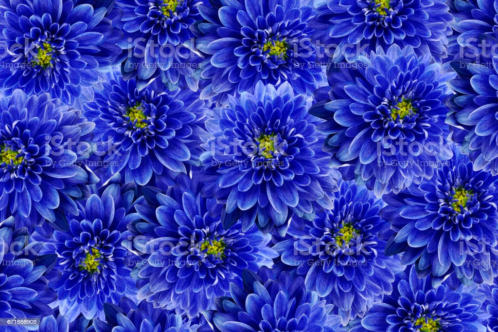 flowers  background .Blue flowers chrysanthemum. Close-up.  Floral collage.  Flower composition. Nature. stock photo