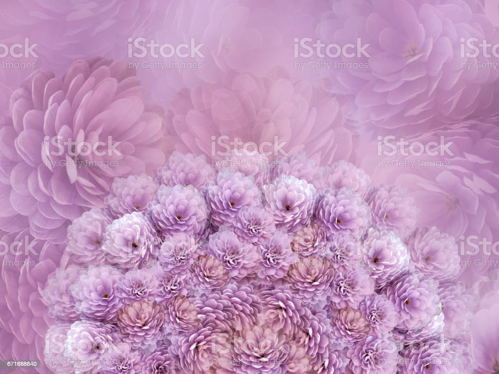 flowers  background Pink flowers chrysanthemum. Floral collage.  Flower composition. Nature. stock photo
