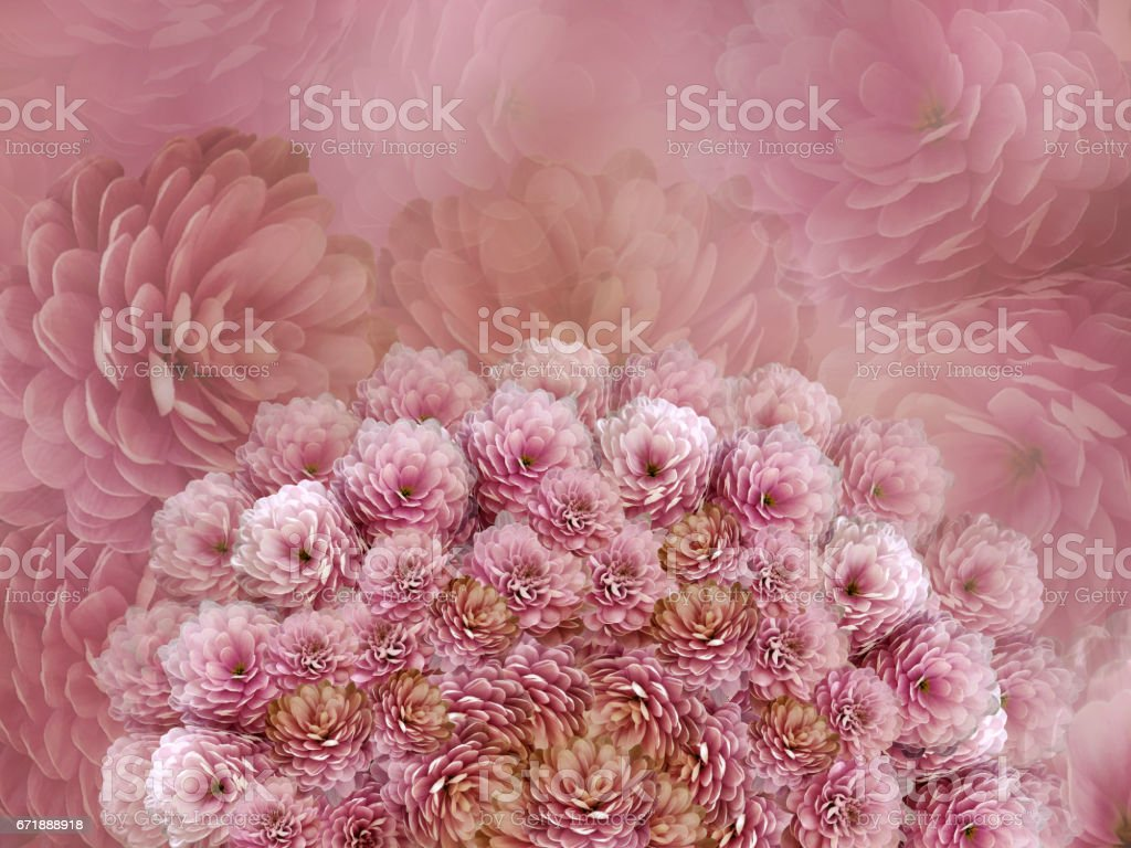 flowers  background .Pink flowers chrysanthemum. Floral collage.  Flower composition. Nature. stock photo