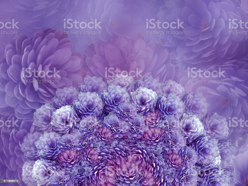 flowers  background .Purple flowers chrysanthemum. Floral collage.  Flower composition. Nature. stock photo