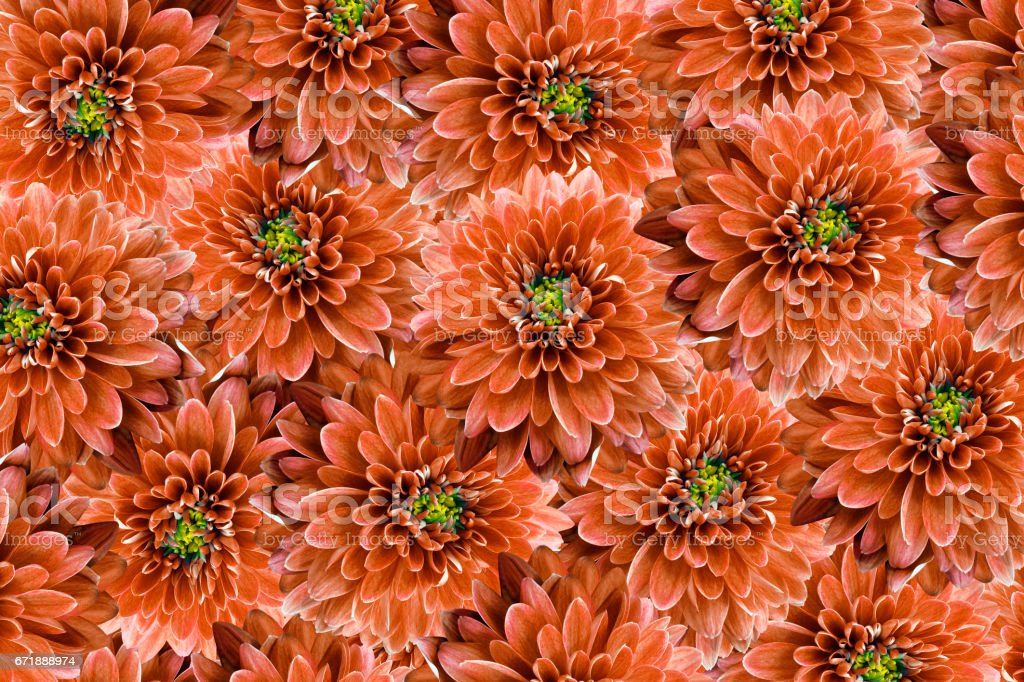 flowers  background .Red flowers chrysanthemum. Close-up.  Floral collage.  Flower composition. Nature. stock photo