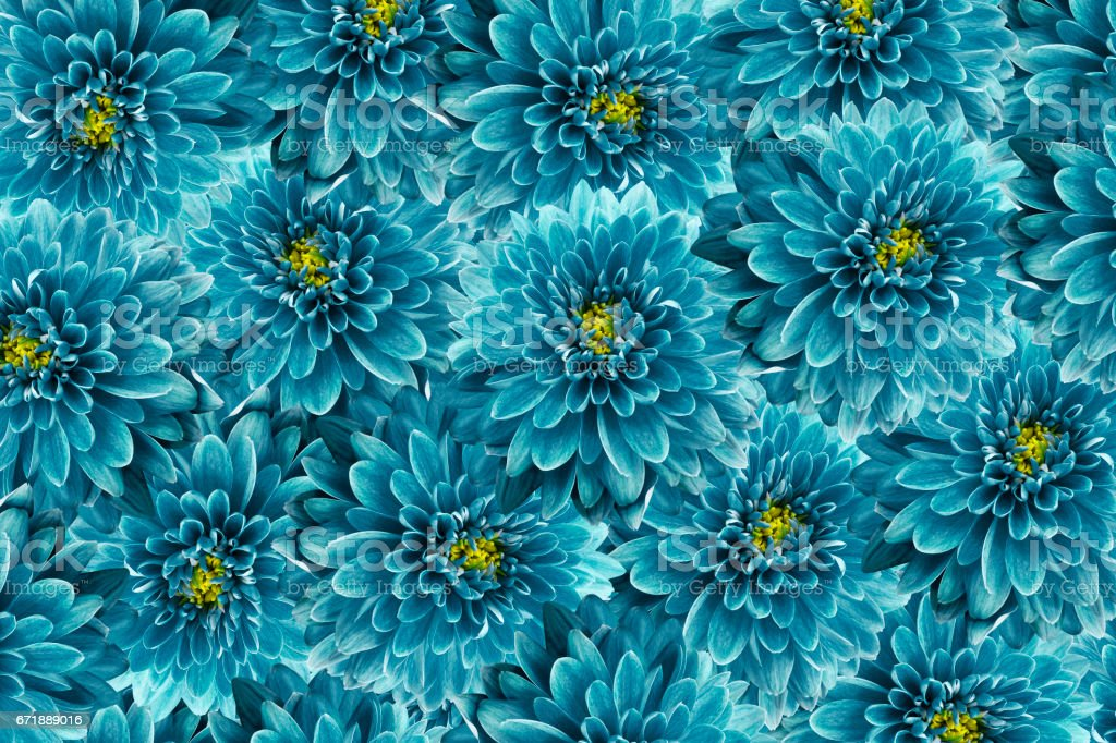 flowers  background .Turquoise  flowers chrysanthemum. Close-up.  Floral collage.  Flower composition. Nature. stock photo