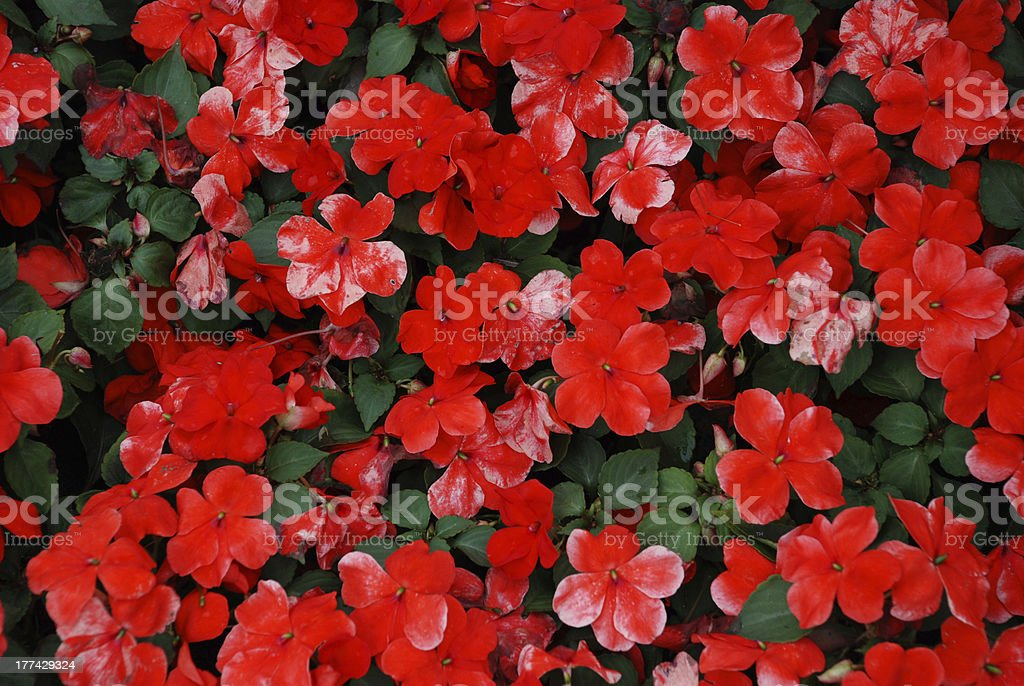 Flowers backgrounds royalty-free stock photo