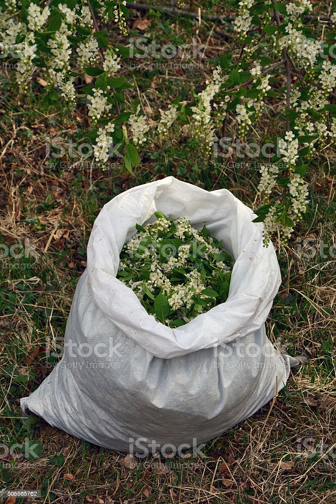 Flowers bird cherry in the bag stock photo