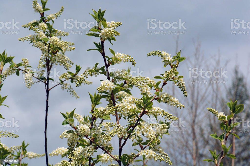 Flowers bird cherry stock photo