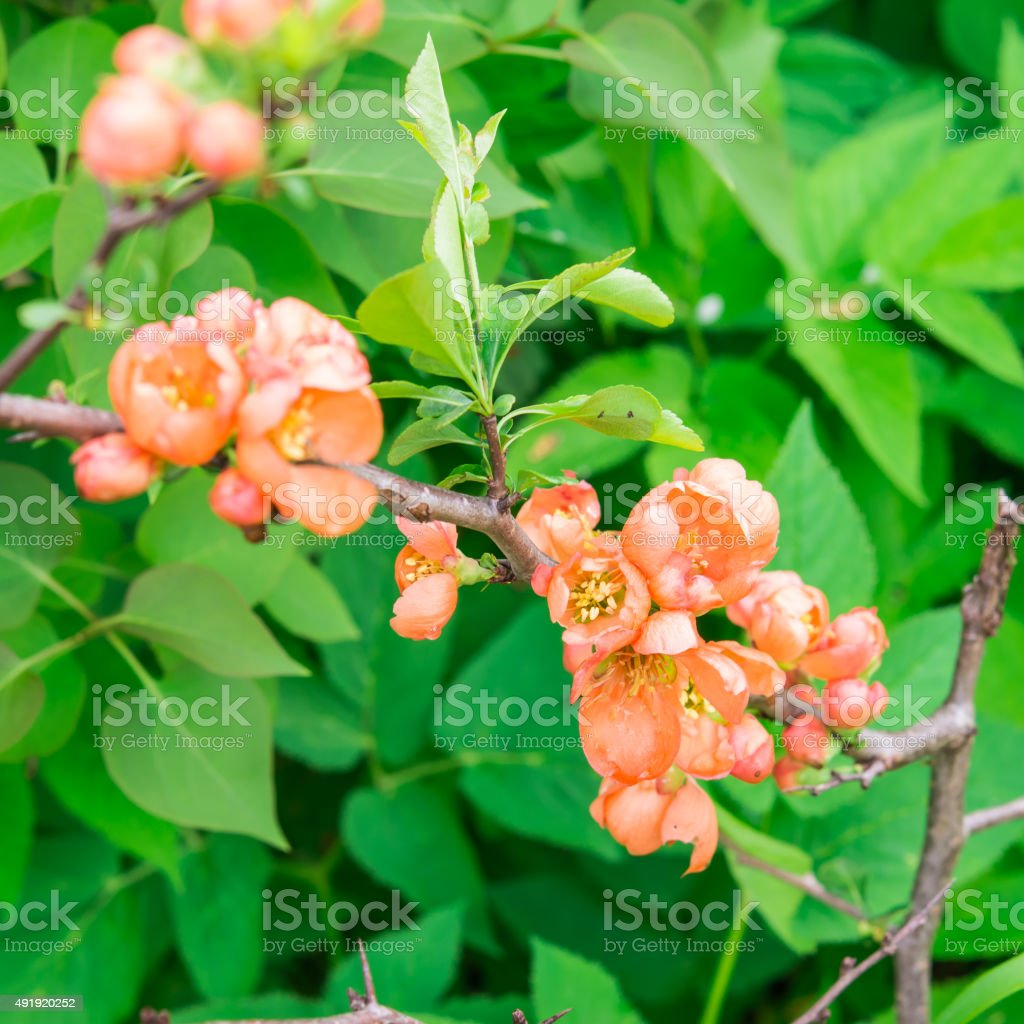 Flowers. Blossoming Japanese quince. stock photo