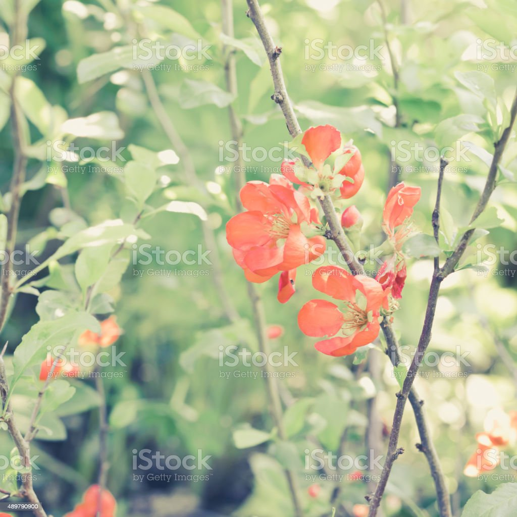 Flowers. Blossoming Japanese quince. Toned image. stock photo