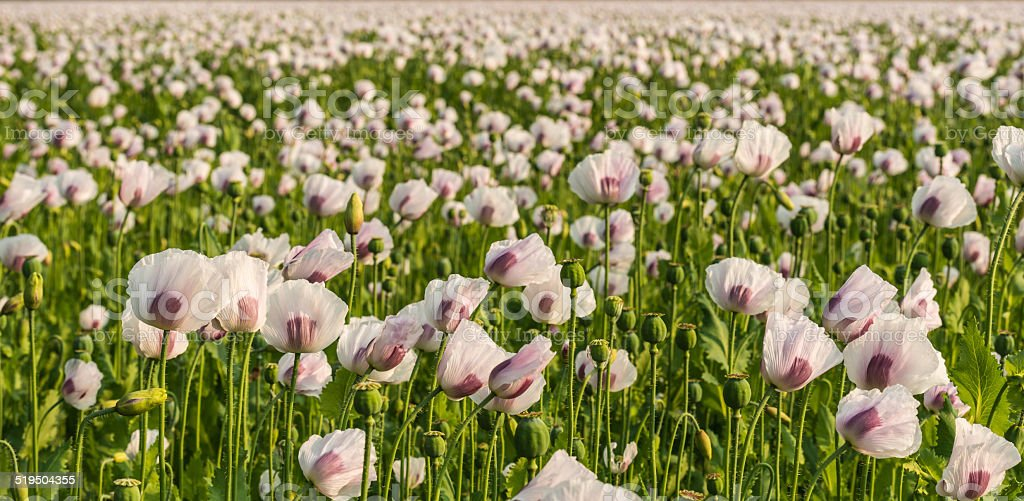 Flowers, buds and seedheads of white and purple colored poppies stock photo