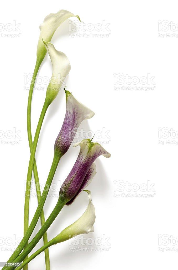 Flowers: callas stock photo