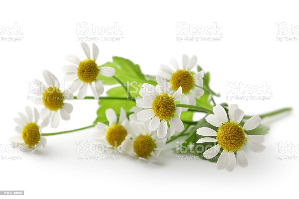 Flowers: Camomile Isolated on White Background stock photo