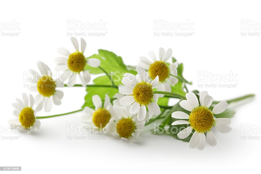 Flowers: Camomile Isolated on White Background stock photo