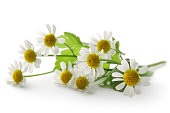 Flowers: Camomile Isolated on White Background