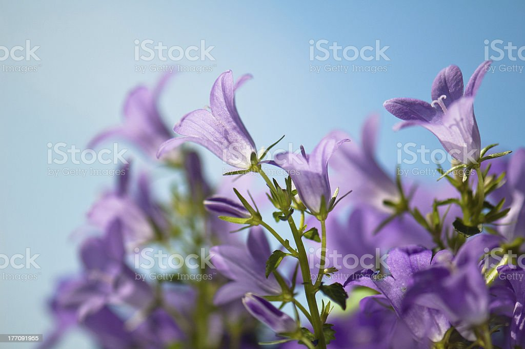 flowers campanula on a background of the blue sky royalty-free stock photo