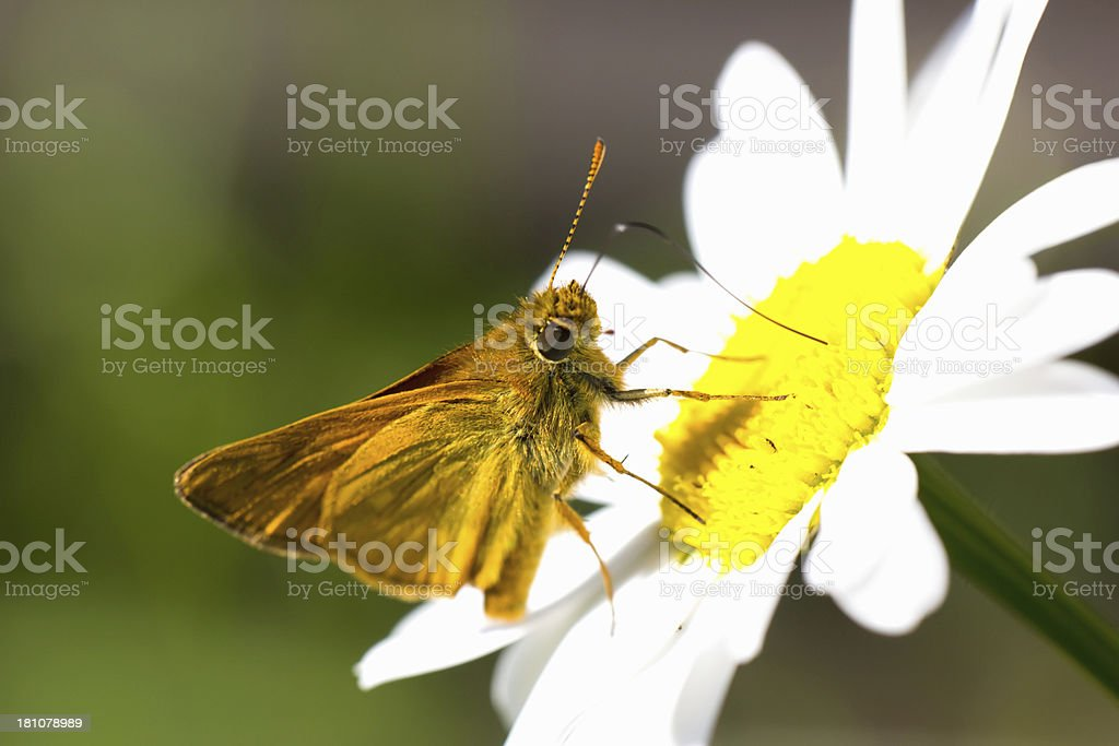 flowers chamomiles with butterfly royalty-free stock photo