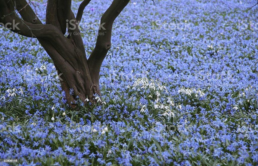 flowers - Chionodoxa luciliae stock photo