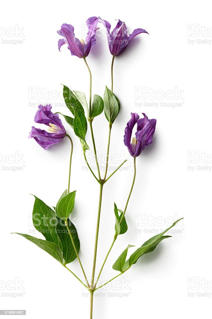 Flowers: Clematis Isolated on White Background stock photo