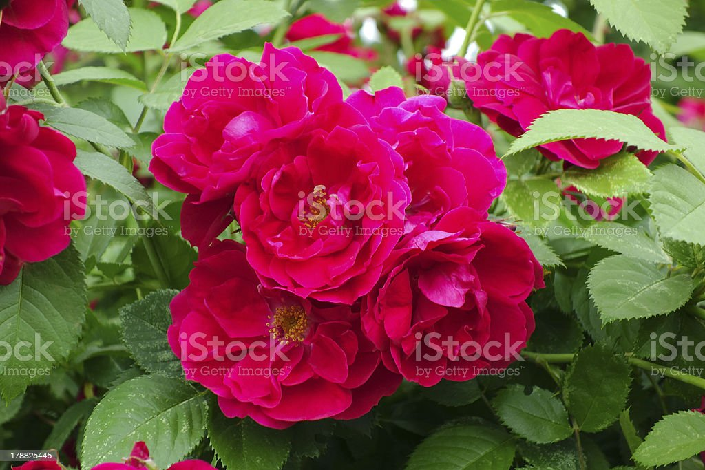Flowers climbing roses royalty-free stock photo