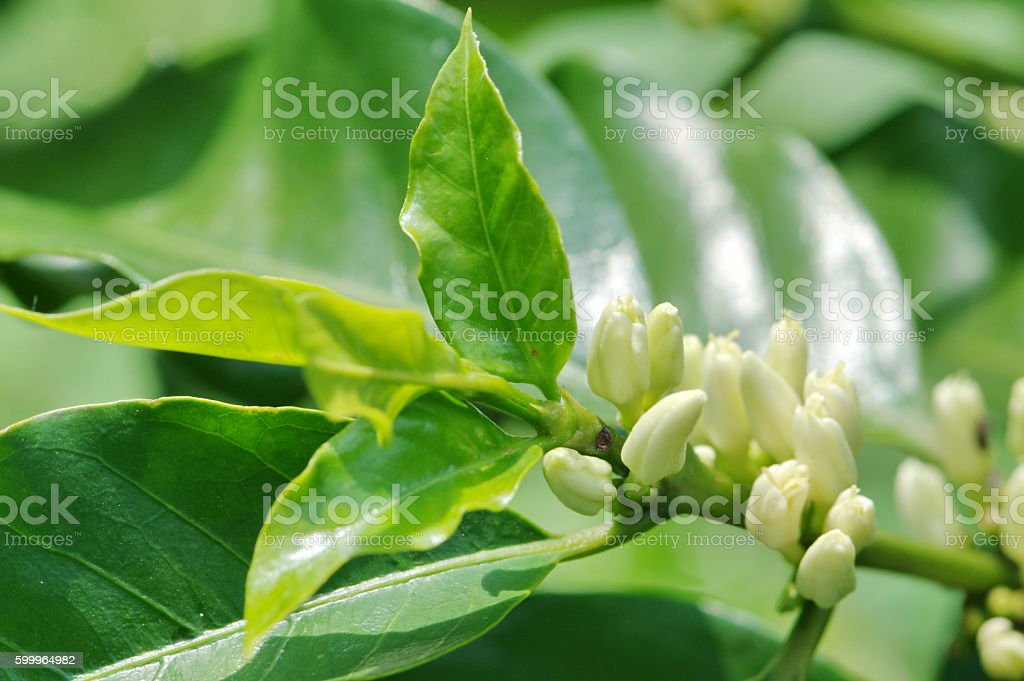 flowers coffee plant in the garden stock photo