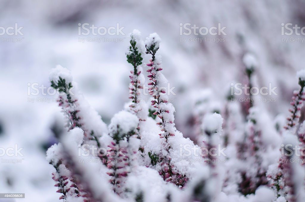 flowers covered with snow stock photo