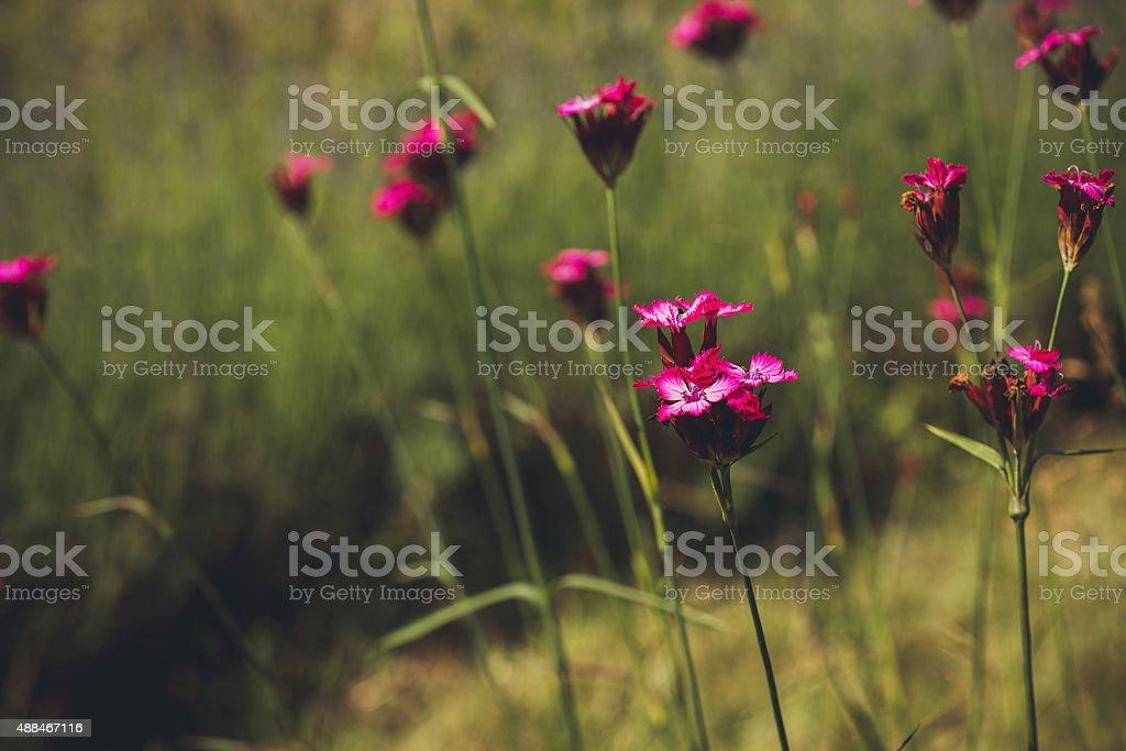 Flowers Dianthus stock photo