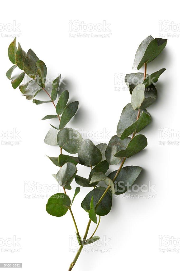 Flowers: Eucalyptus Isolated on White Background stock photo