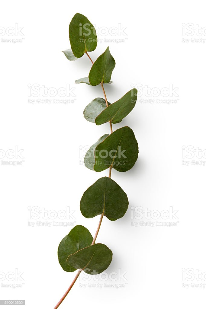 Flowers: Eucalyptus Isolated on White Background stock photo