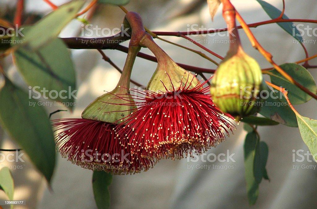 Flowers - Eucalyptus royalty-free stock photo