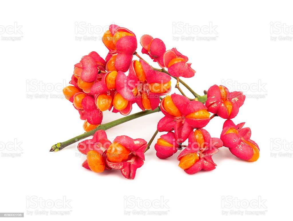 Flowers euonymus stock photo