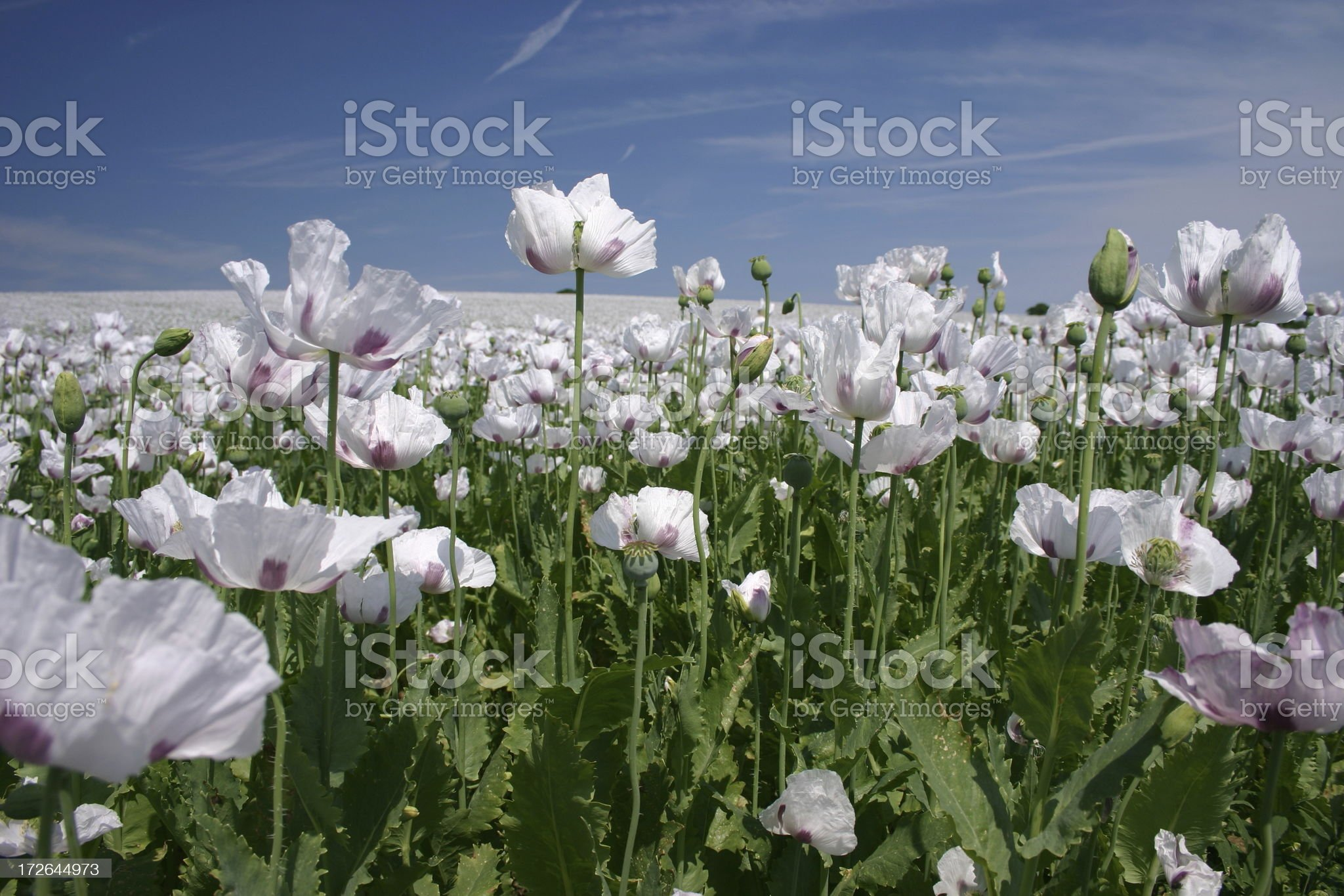 flowers far as the eye can see royalty-free stock photo